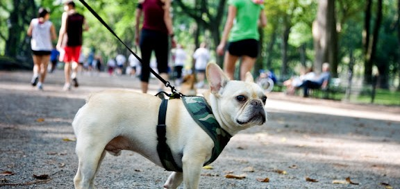 French bulldog in new york